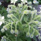 HEIRLOOM NON GMO  White Flowering Borage 25 seeds