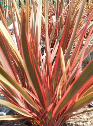 Pink Stripe New Zealand Flax (f1 Hybrid)