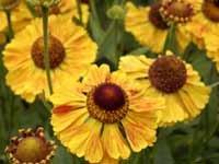 Helenium Baronin Linden 10 seeds