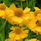 Helenium bigelovii 10 seeds