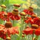 Helenium Bruno 10 seeds
