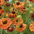 Helenium Chipperfield Orange 10 seeds