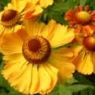 Helenium Can Can 10 seeds