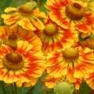 Helenium Feuersiegel 10 seeds