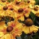 Helenium Hartmut Rieger 10 seeds