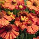 Helenium Indianersommer 10 seeds