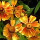 Helenium Kupfersprudel  10 seeds