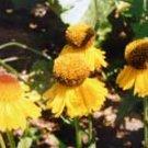 Helenium Pipsqueak 10 seeds