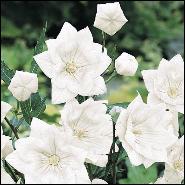HAKONE DOUBLE WHITE Balloon Flower 25 seeds