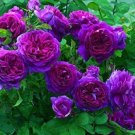 Purple Climbing Rose  10 seeds