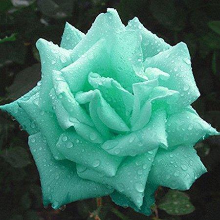 Mint Green Rose   10 seeds
