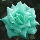 Mint Green Rose   10 seeds