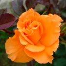Orange Rose  10 seeds