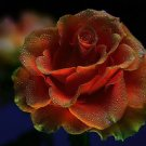 Copper Head Rose 10 seeds