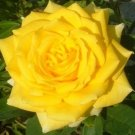 Sunny Delight Rose 10 seeds