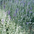 Munstead Lavender 50 seeds