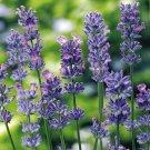 Lavender Lady Blue Lavender 50 seeds