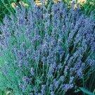 Lavender Sky Light Blue Lavender 50 seeds