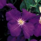 Jackmanii Clematis 10 seeds