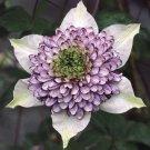 'Viennetta' Clematis 10 seeds