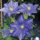 Fujimusume Clematis 10 seeds