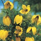 Clematis T Tangutica 10 seeds