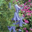 Betty Corning Clematis 10 seeds