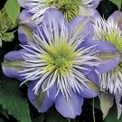 Crystal Fountain Clematis 10 seeds