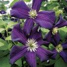 Romantika Clematis 10 seeds