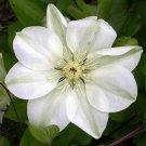 Guernsey Cream Clematis 10 seeds