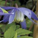 Blue Bird Clematis 10 seeds