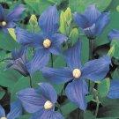 Durandii Clematis 10 seeds