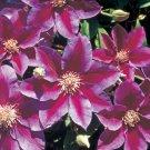Kilian Donahue Clematis 10 seeds