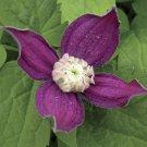 Brunette Alpine Clematis 10 seeds