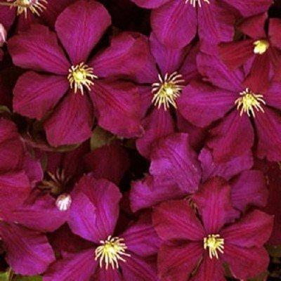 Red Wine Clematis 10 seeds