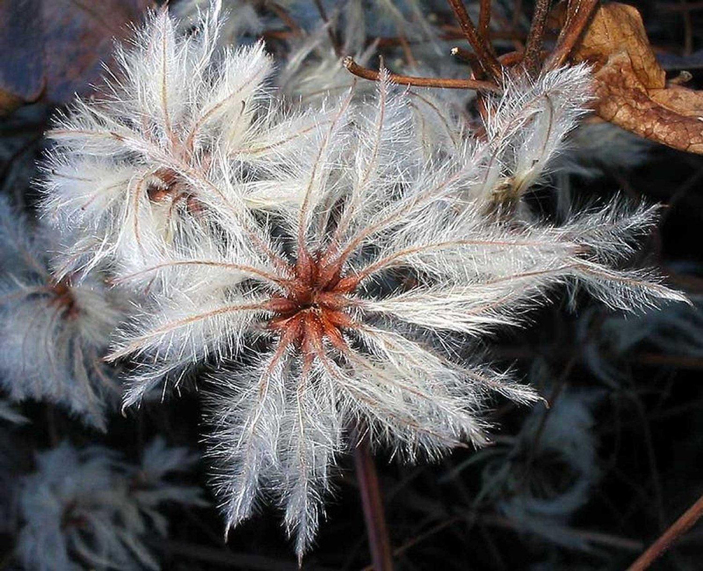 Old Man's Beard Clematis 10 seeds
