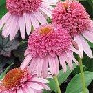 Meteor Pink Coneflower Seeds (Echinacea)  25 seeds