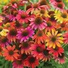 Warm Summer Coneflower Mix  (Echinacea)  25 seeds