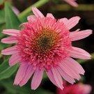 Double Scoop Bubble Gum Coneflower  (Echinacea)  25 seeds