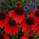Firebird Coneflower  (Echinacea)  25 seeds