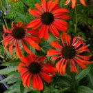 Tomato Soup Coneflower  (Echinacea)  25 seeds