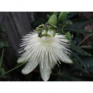 Snow Queen Passion Flower 10 seeds