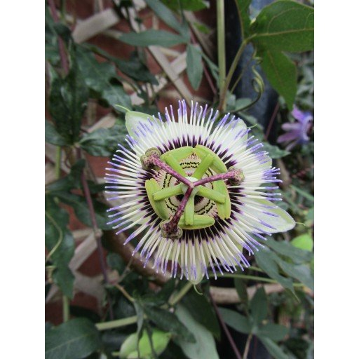 Party Animal Passion Flower 10 seeds