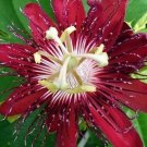 Lady Margeret Passion Flower 10 seeds