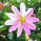 Pink Banana Passion Flower 10 seeds