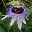 Panda Passion Flower 10 seeds