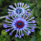 USA SELLER Rare Blue African Daisy 15 seeds