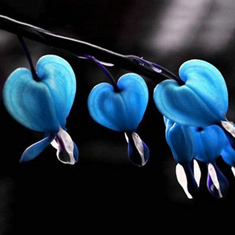 USA SELLER Blue Bleeding Hearts 10 seeds