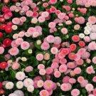 USA SELLER English Daisy Mix 25 seeds