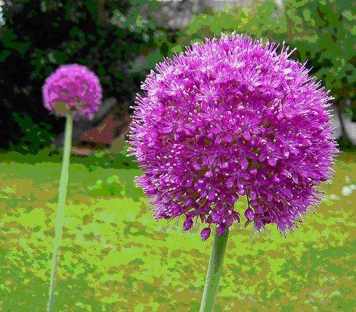 USA SELLER Huge Giant Purple Allium 10 seeds